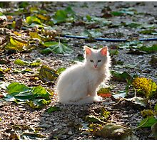 White Kitten in Sunlight  Photographic Print
