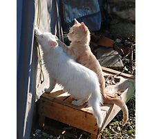 Kittens Playing with Tent Rope  Photographic Print