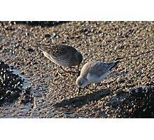Purple Sandpiper & Sanderling Photographic Print