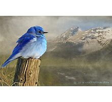 return to the high country mountain bluebird Photographic Print