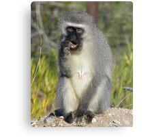 Vervet Monkey, South Africa Metal Print