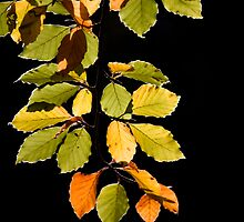 Beech Leaves by JulieP