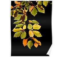 Beech Leaves Poster