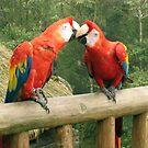 Kissing Parrots by SusanGBurns