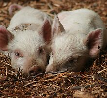 Baby Piglets by SGarrity