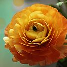Ranonculus flower by walstraasart