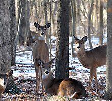 Herd of Deer by Jarede Schmetterer