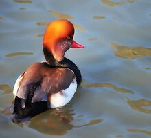 Red-Crested Pochard by Zuzana D Photography