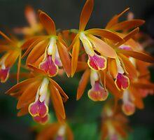 Orchids by Béla Török