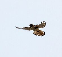 Hovering American Kestrel by lloydsjourney