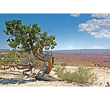 Juniper tree Photographic Print