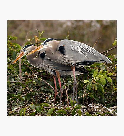 Mating Pair Photographic Print