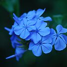 Plumbago Blue by Catherine Davis
