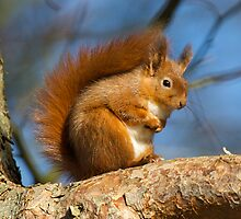 Red Squirrels by wildlifephoto