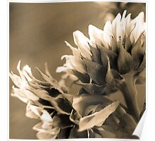 Sepia Sunflowers 3 Poster