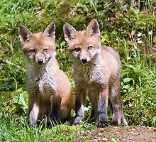 Fox cubs by wildlifephoto