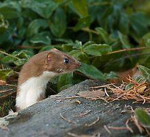 Inquisitive Stoat by wildlifephoto