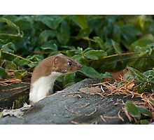 Inquisitive Stoat Photographic Print