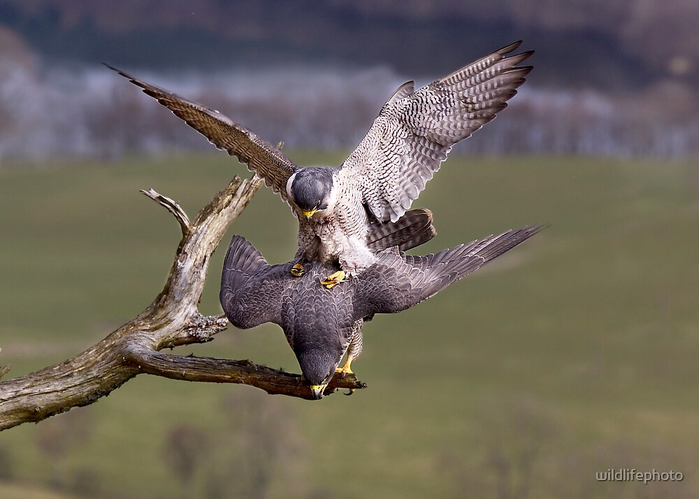 Mating Peregrines by wildlifephoto