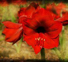 Amaryllis by Jonicool