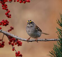 White-Throated Sparrow (Zonotrichia albicollis) by Gregg Williams