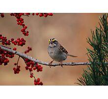 White-Throated Sparrow (Zonotrichia albicollis) Photographic Print