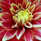 Beautiful Dahlias # 1 by sstarlightss