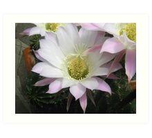 echinopsis cactus bloom Art Print