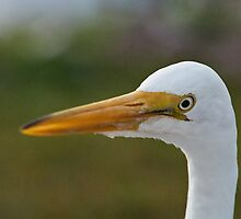 Watchful Egret  by clizzio