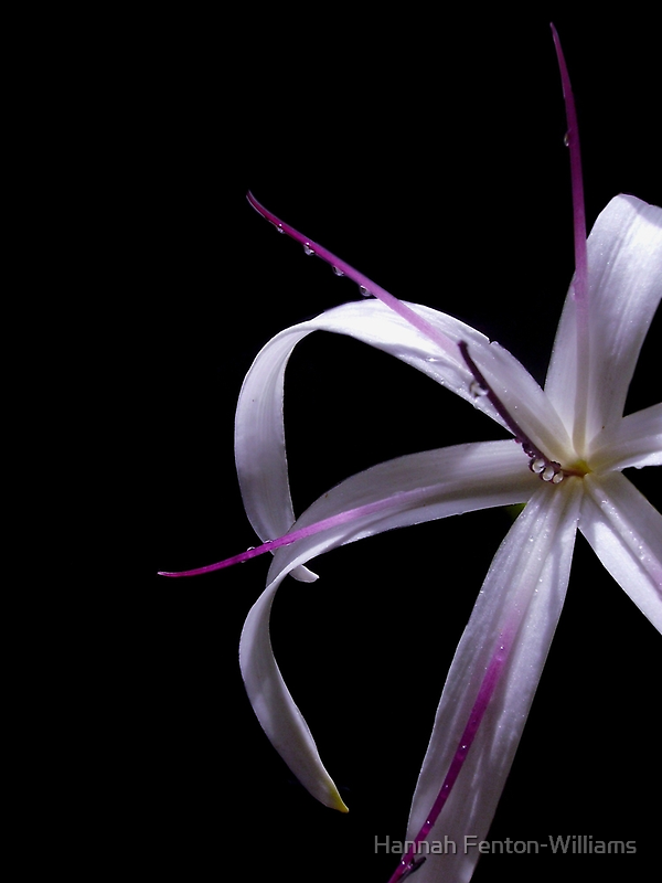 Spider lily by Hannah Fenton-Williams