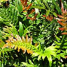 Blechnum cartilagineum - known as the Gristle Fern or Soft Water Fern by Marilyn Harris