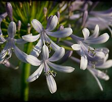 Lily of the Nile by Jonicool