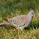 Crested Pigeon, Centennial Park, Sydney, Australia by Erik Schlogl