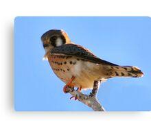 American Kestrel Falcon Canvas Print