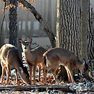Doe and Two Fawns by Jarede Schmetterer