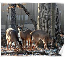 Doe and Two Fawns Poster