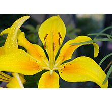 Pollyanna (Asiatic Lily) Photographic Print