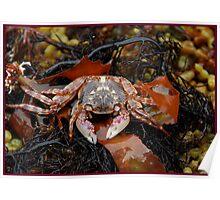 crustacean in seaweed. Poster
