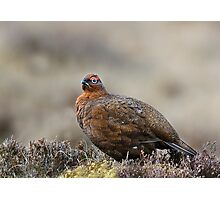 Male red grouse Photographic Print