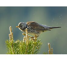 Fieldfare and midges Photographic Print