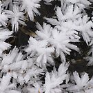 Ice Flowers by jacqi