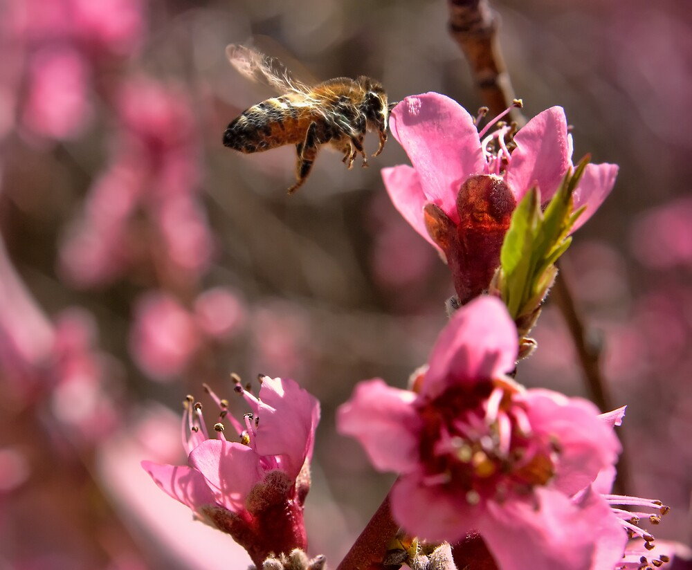 Bee in Peach Tree by thegrizz15