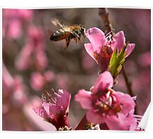 Bee in Peach Tree Poster