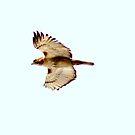 Hawk in Flight...  by Larry Llewellyn