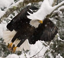 Bald Eagles of the Skagit River by JWallace