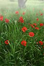 Poppy-field by jimmy hoffman