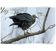 Black Vulture or Buzzard Poster
