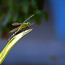 Smiling dragonfly by LisaMS
