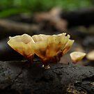 Mossman Gorge Fungi by Richard Cassar