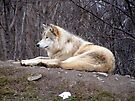 Male Timber Wolf by Johnny Furlotte